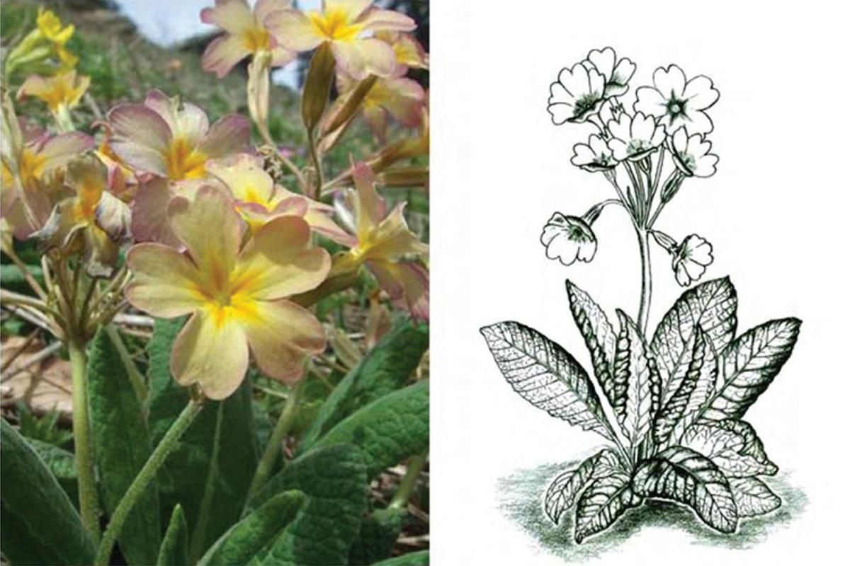 Primula × Uzungolensis Terzioğlu & Coşkunçelebi